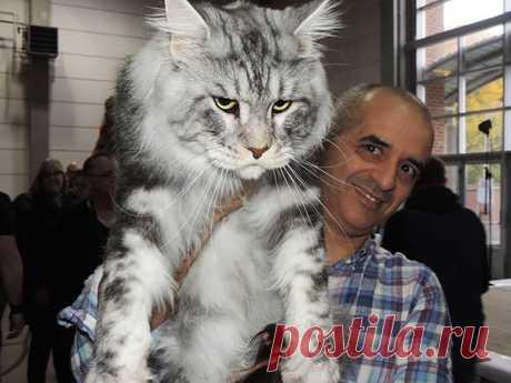 Самая большая домашняя кошка в мире | viponline | Яндекс Дзен