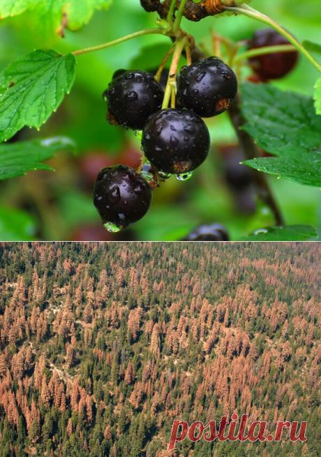 Грибок - причина запрета выращивания черной смородины в США | Идеи для дома и окружения | Яндекс Дзен