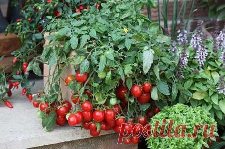 How to grow up early large tomatoes in a bucket