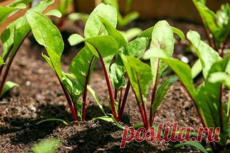 10 FEATURES OF CULTIVATION OF BEET.