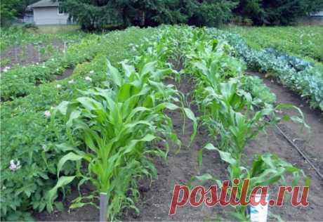 С какими культурами следует сажать картофель, чтобы получить здоровый урожай Как и с какими культурами по соседству следует сажать картофель, чтобы получить богатый и здоровый урожай.