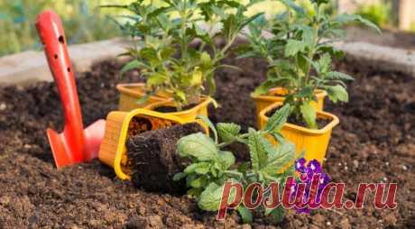 Вербена: выращивание из семян в домашних условиях на Supersadovnik.ru