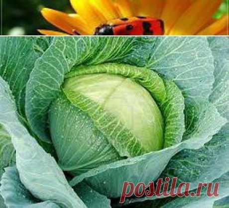 Выращивание белокочанной капусты рассадным способом | Дачный каламбур