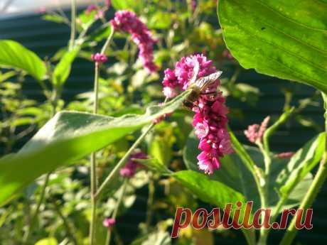 Polygonum orientale L. Однолетнее травянистое растение до 200 см высотой. Приятный аромат. Используется для декорирования стен, заборов и для создания заднего плана миксбордеров. Травы этого растения является довольно хорошим как тонизирующим, так и ранозаживляющим средством. Плоды, цветки, корни и листья горца восточного получили довольно широкое применение и в китайской медицине: здесь это средство используется в качестве довольно эффективного антисептического средства, которое применяется при
