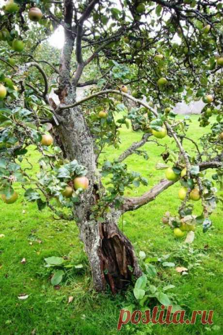 Секреты известных садоводов: как омолодить старый сад правильно
