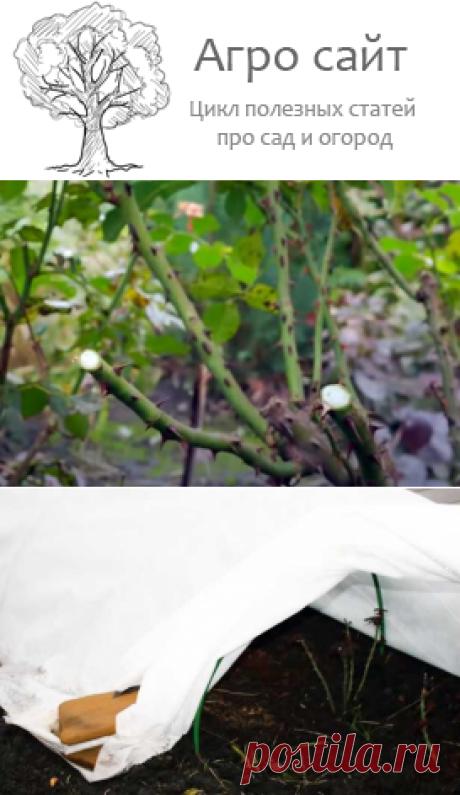 Подготовка роз и клематисов к зиме: обрезка, окучивание, укрытие
