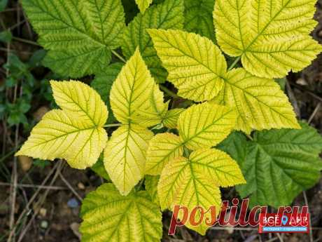 Что делать, если листья малины желтеют: советы садоводам | Чемодан со сказками | Яндекс Дзен