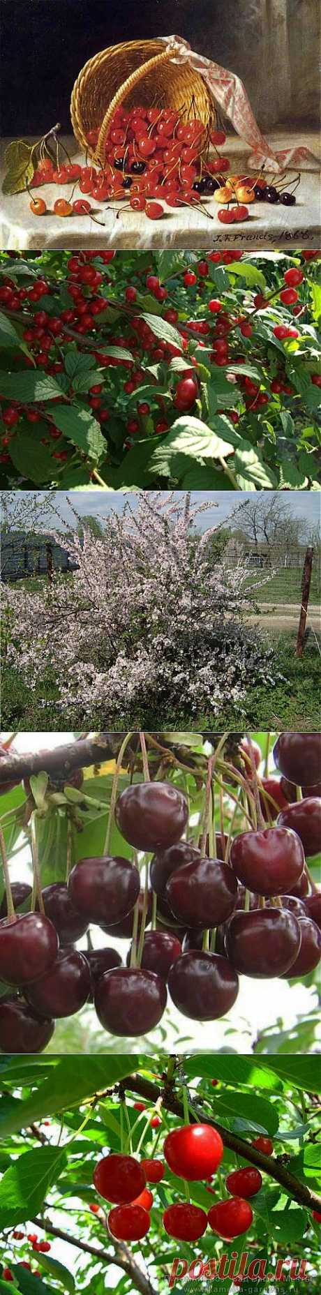 Наполняет летом сад спелых вишен аромат.