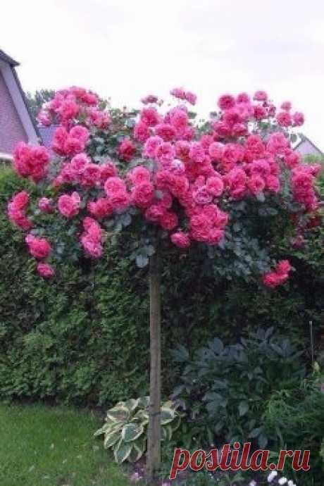 Кустовая роза...Вау!