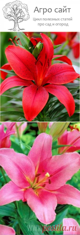 Лилии азиатские сорта с фото и названиями видео
