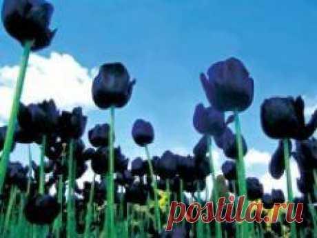 Сегодня 15 мая в 1637 году В Голландии пышно отметили рождение черного тюльпана