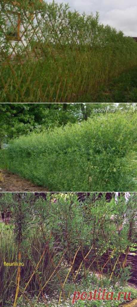 (+1) тема - Живые изгороди из ивы | 6 соток