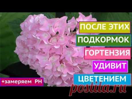 КАК ДОБИТЬСЯ РОСКОШНОГО ЦВЕТЕНИЯ ГОРТЕНЗИЙ+БОНУС!!