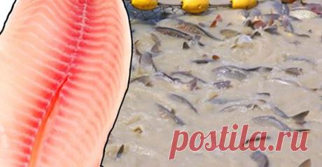 Эксперты в области здравоохранения предупреждают людей о прекращении употребления тилапии - Упражнения и похудение Вы должны это знать! Тилапия является одной из самых популярных сортов рыбы среди американцев, главным образом потому, что это самый доступный способ получить питательные вещества и витамины, предлагаемые морепродуктами. Название относится к нескольким видам в основном пресноводных рыб, членов семьи цихлид. Эти рыбы являются родными для Африки, но в настоящее ...