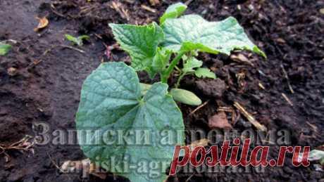 В статье рассказывается о выращивании огурцов в высокой грядке, о том как правильно сеять огурцы, о правилах полива и о плюсах при выращивании огурцов