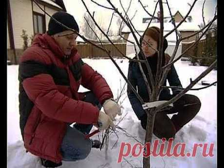 """Весенняя обрезка деревьев, кустарников и цветов - подборка видео. Теоретически обрезать ветки на деревьях можно и зимой, но не стоит делать это в морозы, когда ветки хрупкие, и с шапками снега на кроне, поэтому обрезку обычно проводят осенью и весной. Омолаживающую и прореживающую обрезку нужно проводить раз в 3 года.  Весенняя обрезка, программа """"уДачные советы""""."""