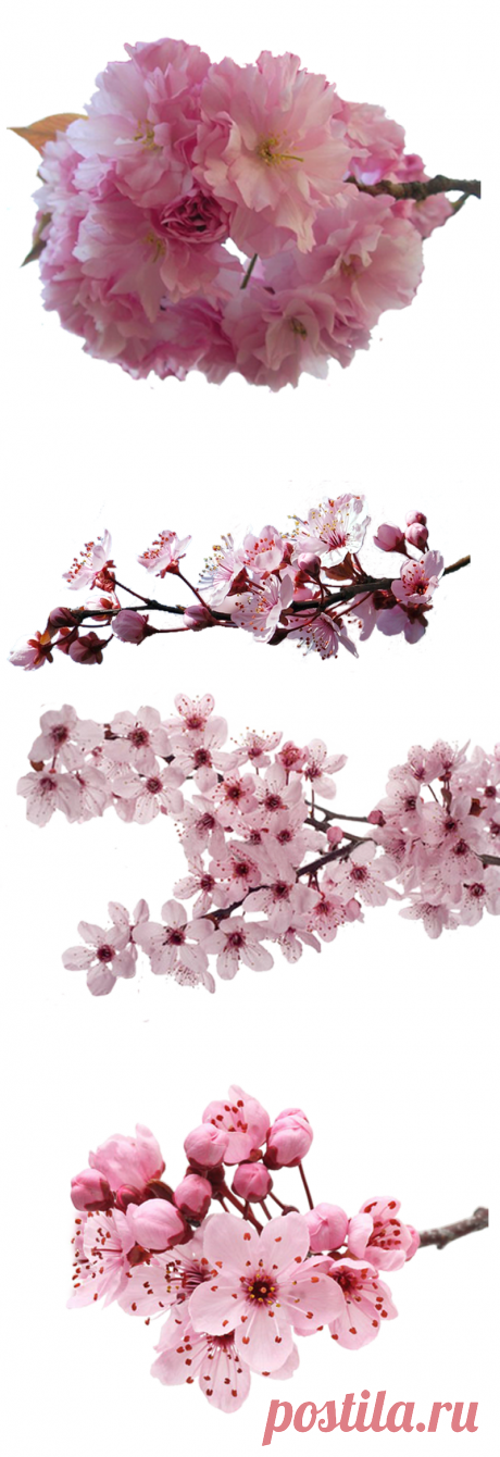 "Клипарт ""Цветущая сакура и вишня."