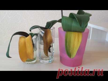 У орхидеи пожелтел лист. Что делать? Почему у орхидеи пожелтели листья? Причины и следствия.