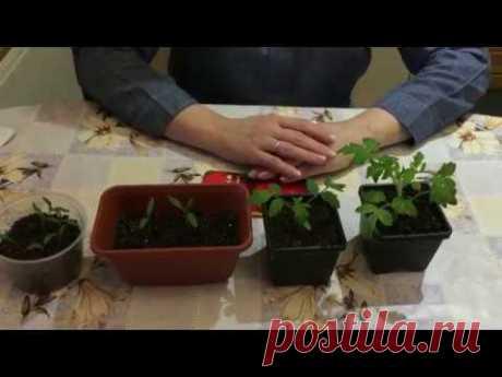 Схема подкормки рассады томатов