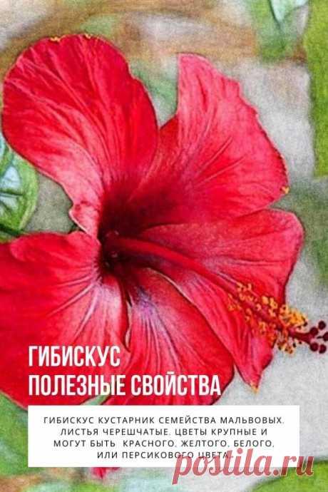 Гибискус полезные свойства. Гибискус  или  суданская роза, Розелла, Гвинея Щавель,  гибискус Чашечка, Ямайка Щавель, каркаде, красный щавель, красный чай, Роса — де – Ямайка.  Гибискус кустарник семейства мальвовых. Листья черешчатые. Цветы крупные и могут быть  красного, желтого, белого, или персикового цвета. Плод имеет вид коробочки, семена мелкие.
