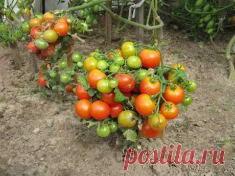 Штамбовый сорт помидор, что это такое? Штамбовый сорт помидор: дерманинантные сорта и гибриды, достигающие в высоту не более 70 см и отличающиеся незначительным образованием побегов