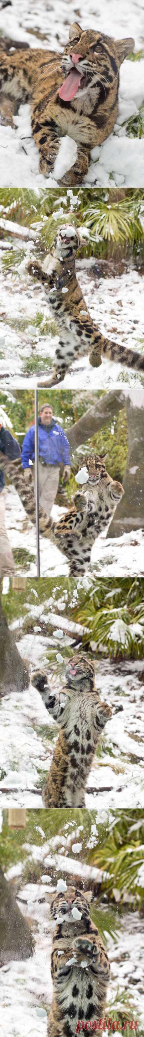 Дымчатый леопард ловит снежки | Уши, лапы, хвост