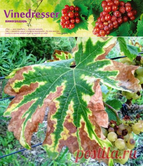 Недостаток калия на винограде. Причины и проявления