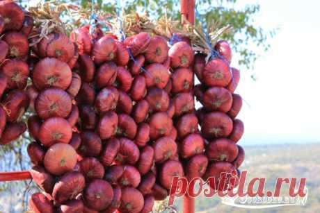 Ялтинский лук – польза, выращивание +фото