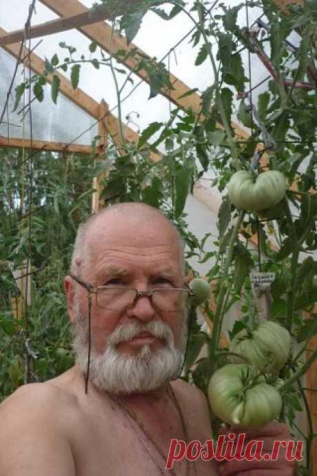 Как выращивать помидоры в теплице. Опыт по омоложению кустов.