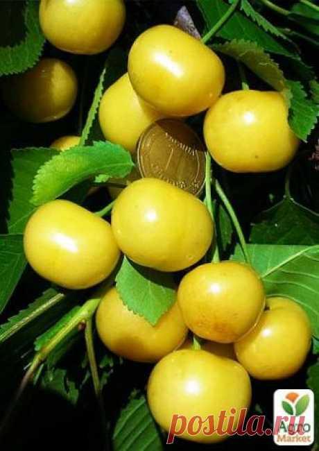 Черешня пирамидальная желтая - Плодовые - купить в Одессе, Украине по цене 199 грн - Agro-Market
