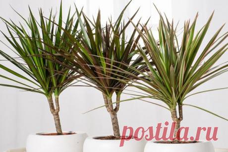 Драцена — как правильно поливать в домашних условиях зимой и летом