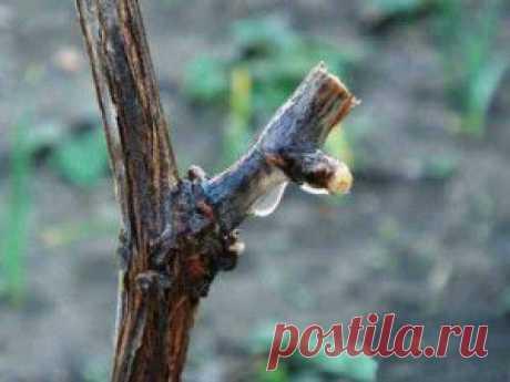 Уход за виноградом весной в начале сокодвижения | Дача - впрок