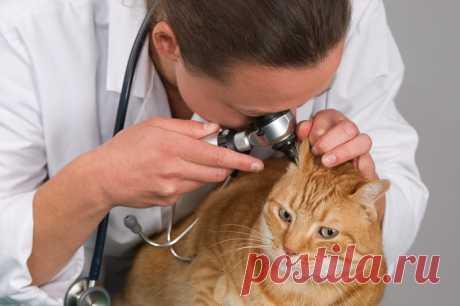 Отит у кошек, симптомы и лечение в домашних условиях: как лечить кота, если у него болят уши?