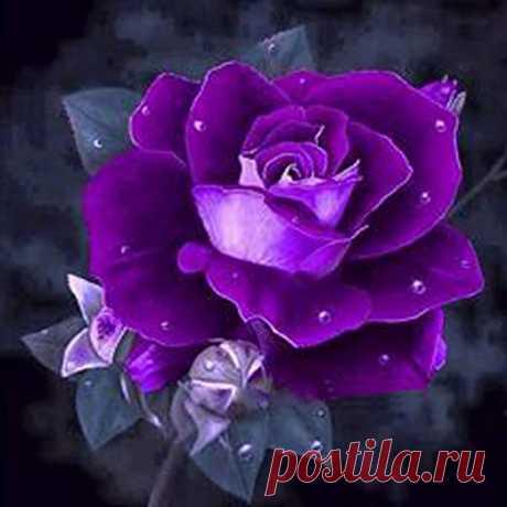 rosas purpura - Búsqueda de Google