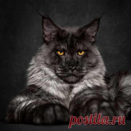 Los leones entre los gatos: las Fotografías es divino los gatos hermosos de la raza meyn-kun