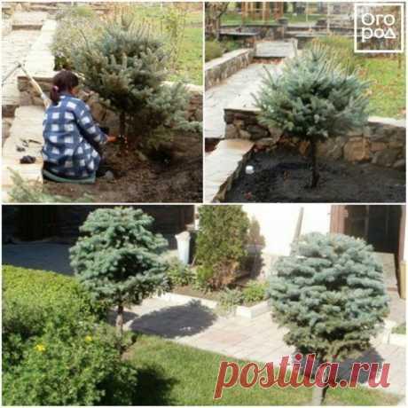Садовый топиарий своими руками – учимся формировать деревья и кусты | Деревья и кустарники (Огород.ru)