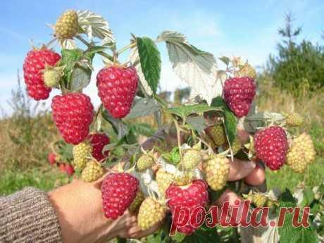 3 правила получения небывалого урожая малины