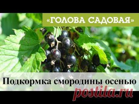 Голова садовая - Подкормка смородины осенью