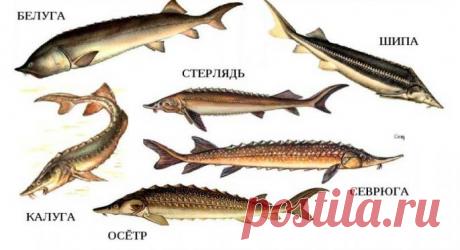 ШИП - редчайшая рыба из семейства осетровых | Тимошин Рыбалка | Яндекс Дзен