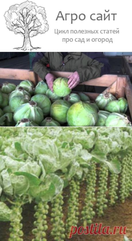 Особенности посадки разных видов капусты