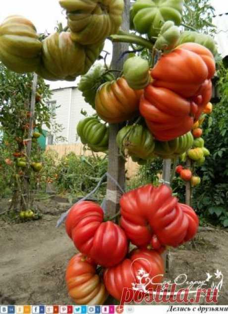 Уникальная подкормка для созревания помидоров!   Первое и самое важное: томаты необходимо подкармливать через каждые две недели с момента посадки и до середины августа. Рецепты подкормок для томатов, растущих в открытом грунте.  Добавляем в ведро воды 4 капли йода и поливаем томаты таким раствором каждую неделю, расходуя по 2 л под каждый куст. Такая подкормка помогает плодам быть крупнее и созревать раньше.   200-литровую бочку на треть заполняем листьями крапивы и одуван...
