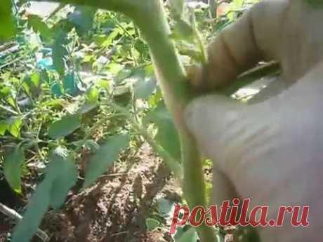 пасынкование томатов и формирование куста несколькими способами - YouTube
