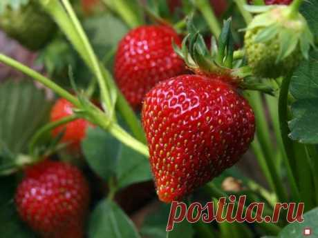 Как посадить клубнику весной, чтобы ягода была крупной и не болела. Готовимся к дачному сезону.
