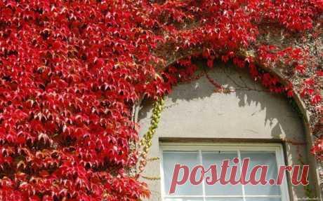 Осенние дома, заросшие плющем  Дома, заросшие плющем, всегда выглядят эффектно, но осенью все меняется и это выглядит просто фантастично!