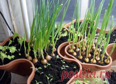 5 видов зелени, которые легко вырастить на подоконнике - МирТесен