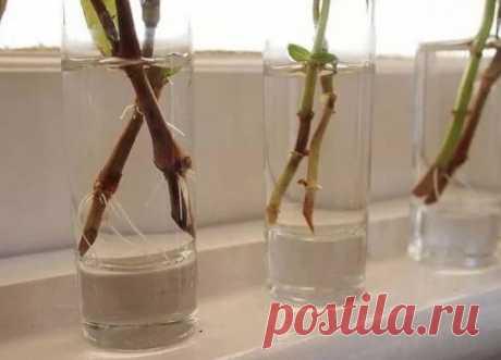 Простой способ укоренения черенков в воде без загнивания корней