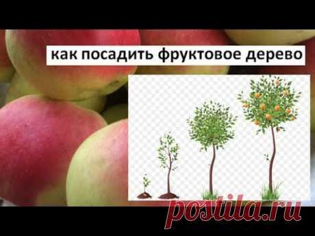 Как правильно посадить фруктовое дерево