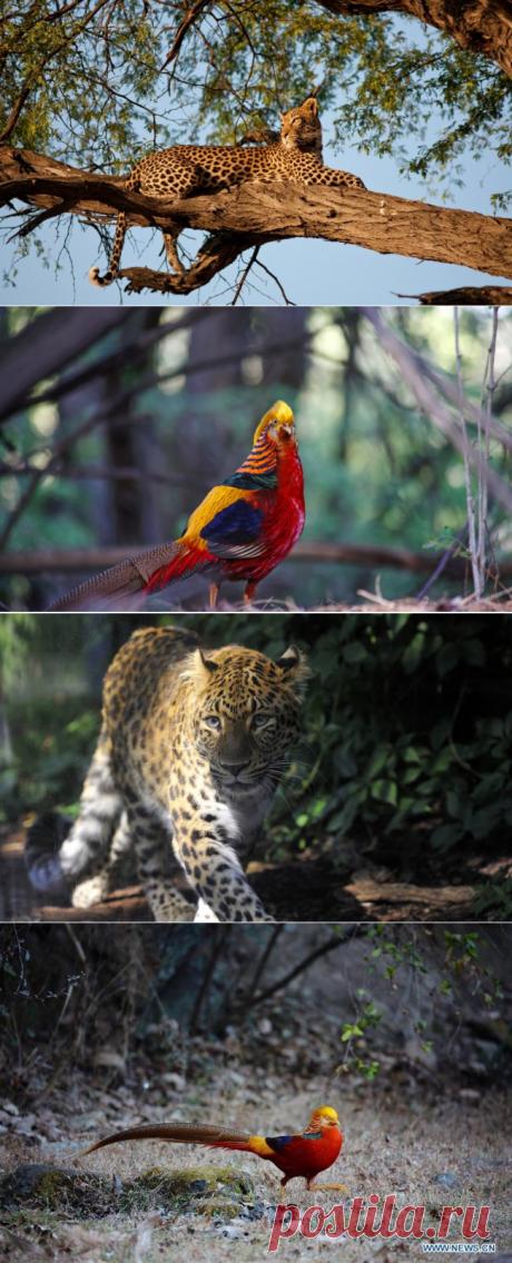 Лесовосстановление в Китае возвращает редких животных - Экологический дайджест FacePla.net