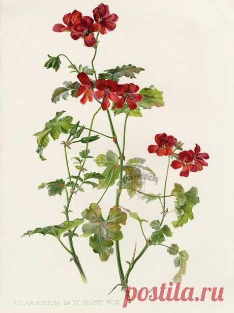 W. Robinson Flora & Sylva Prints by HG Moon 1903. Цветочные иллюстрации.