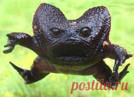 20 самых странных и необычных животных нашей планеты, которых вы точно не видели - Черная водяная лягушка